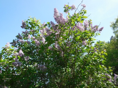 Lilacs in full bloom