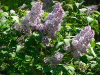Lilacs_detail